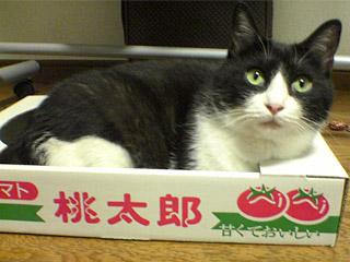 とまとの箱に入る愛猫のぞろ